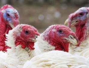 3 Ways You Can Help Turkeys This November