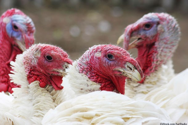 Four White Turkeys Looking at Camera