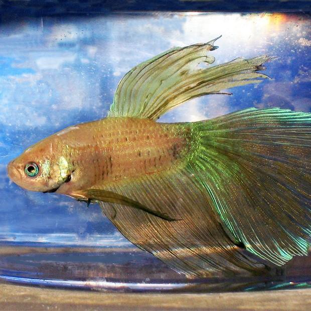 Betta-Fish-In-Cup