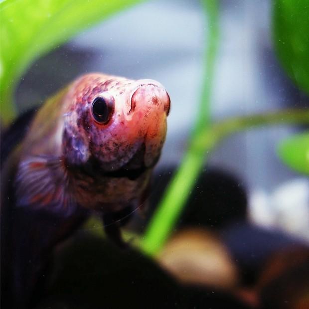 Betta-Fish-With-Rocks