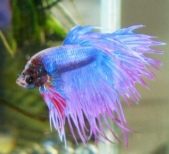 The Shocking Truth About Betta Fish