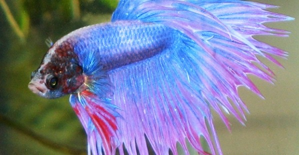 Blue-Betta-Fish
