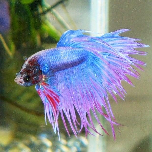 Blue-Betta-Fish