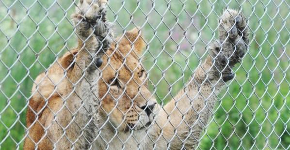 Sad-Lion-At-Zoo