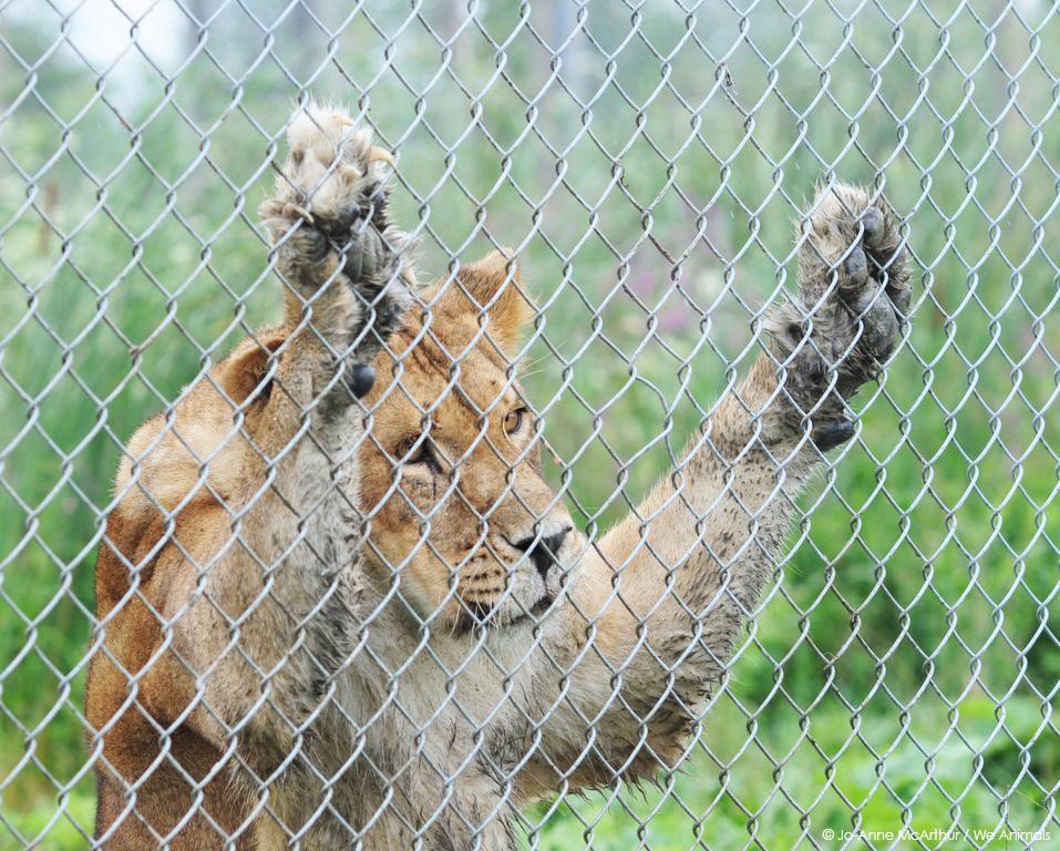 Trauriger Löwe im Zoo