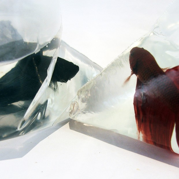 Two-Betta-Fish-in-Bags