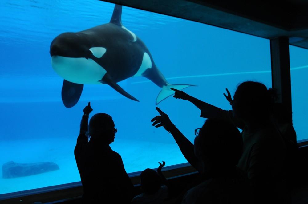 Orca-in-Aquarium-