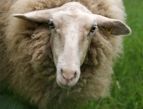 Cool Facts About Sheep