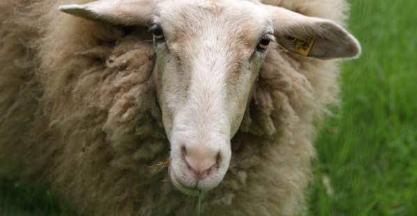 Save Sheep!
