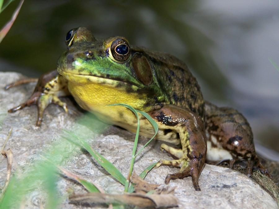 Frog-On-Rock