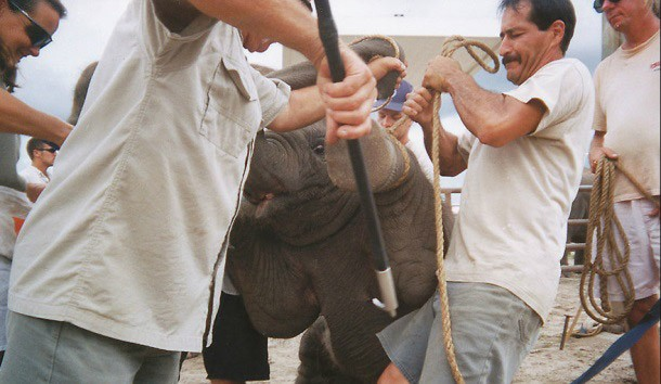 Elephants used in circuses are yelled at, shocked with electric prods, and beaten with metal-tipped weapons called bullhooks.