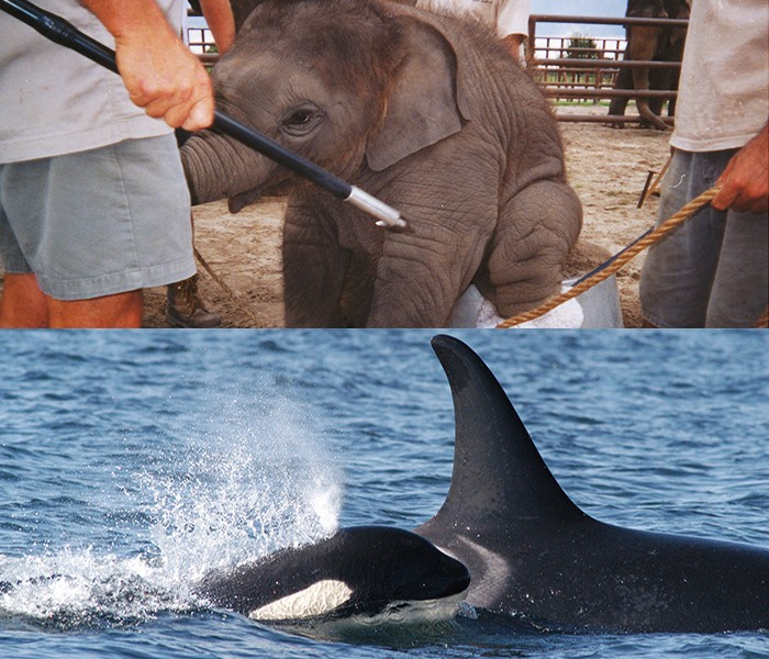 Baby-Elephant-Trick-and-Mom-and-Baby-Orca
