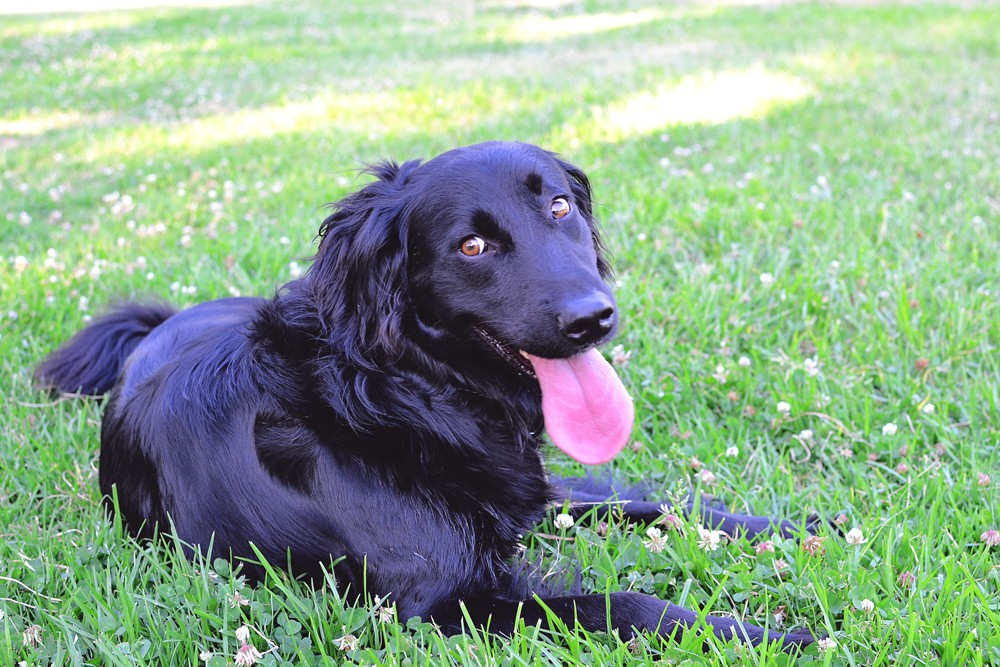 Black-Dog-Laying-In-Grass