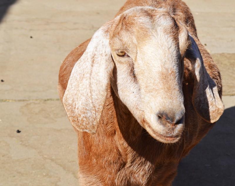 Farm-Sanctuary-Goat
