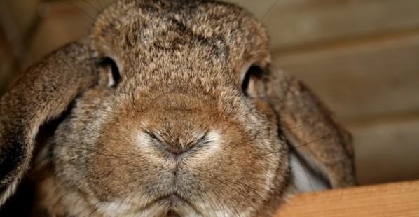 Grumpy-Bunny-Rabbit
