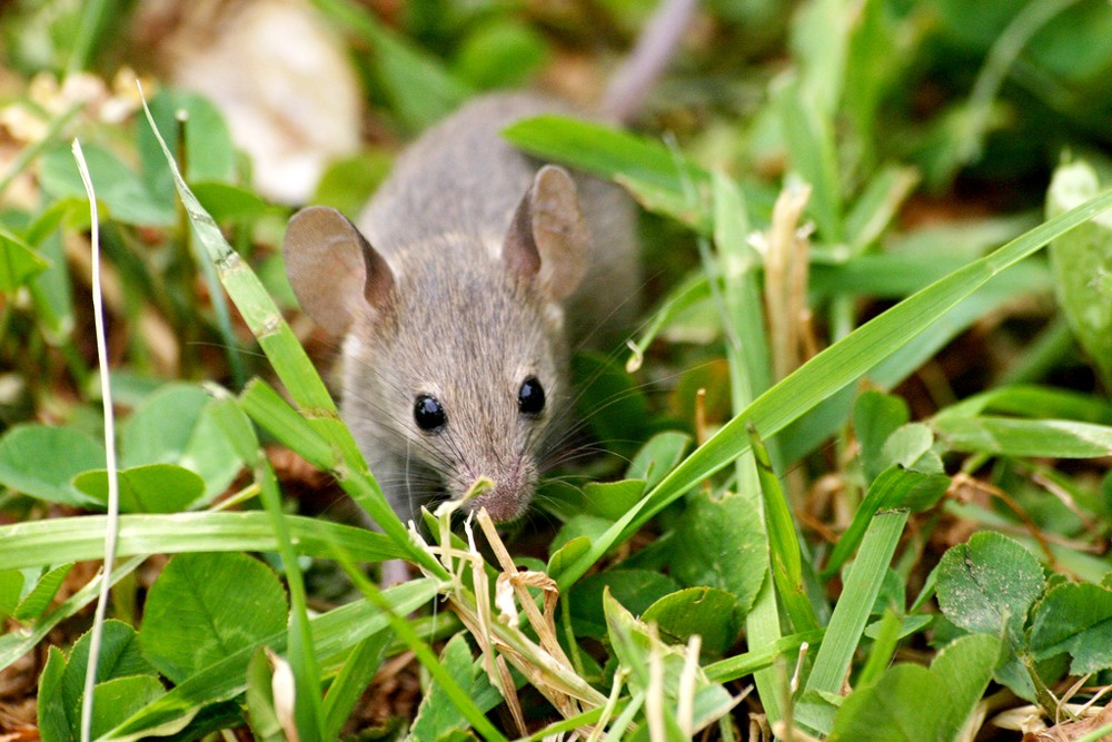 Mouse-In-Grass