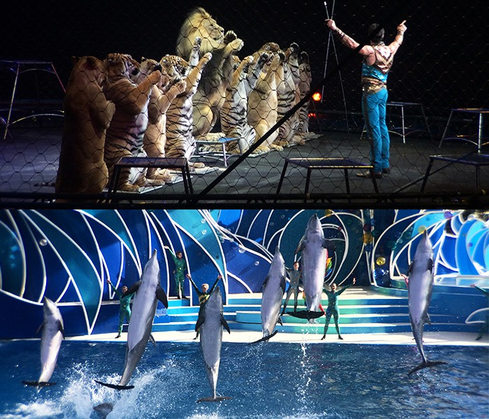 Ringling-Big-Cats-and-SeaWorld-Dolphins