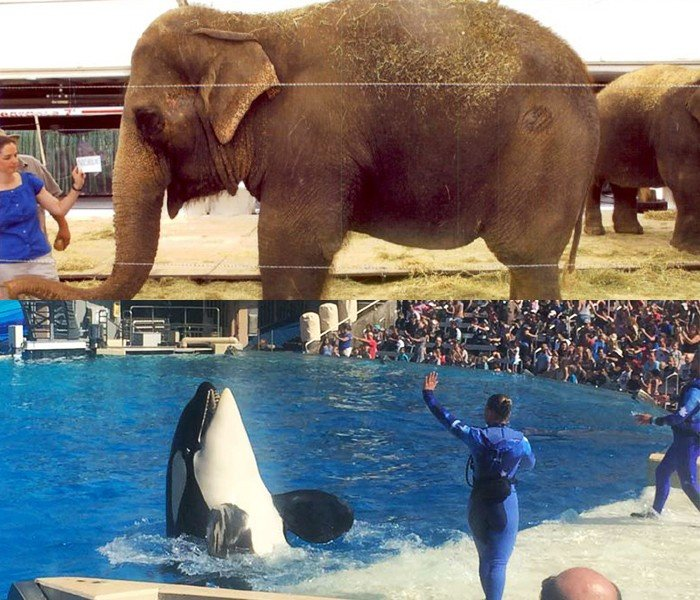 Ringling-Ele-and-SeaWorld-Orca---Teaches-Cruelty