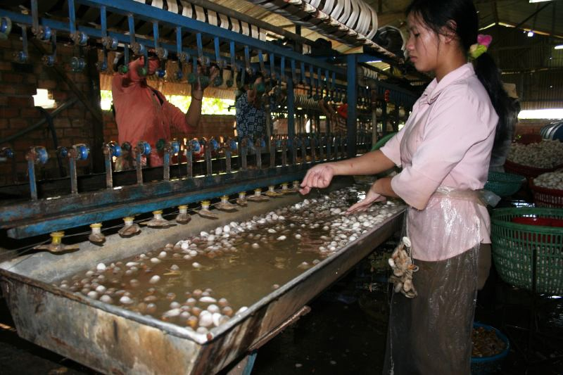 Silkworms Scalding Water