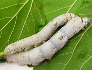 Silkworms-on-Leaf