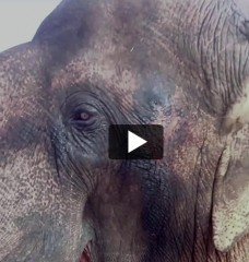 Sunder the Elephant's Rescue Story