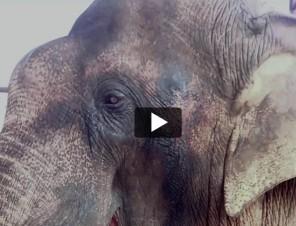 Sunder the Elephant's Journey to Freedom