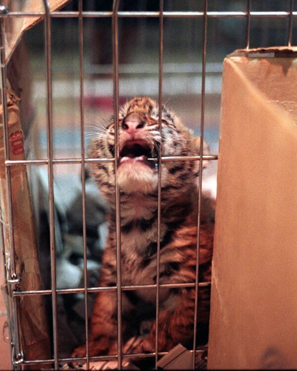 Baby-Circus-Tiger-In-Cage