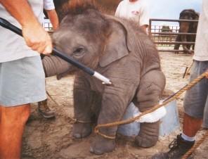 Baby-Elephant-Training