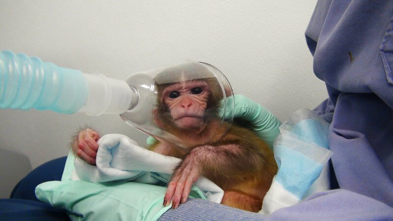 monkeys used in experiments