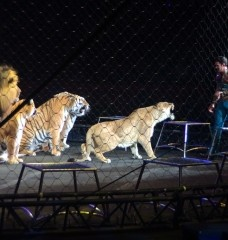 9 Big Cat Facts Circuses Don't Want You To Know