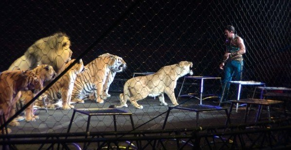 Big-Cats-in-Circus-Growling-at-Trainer