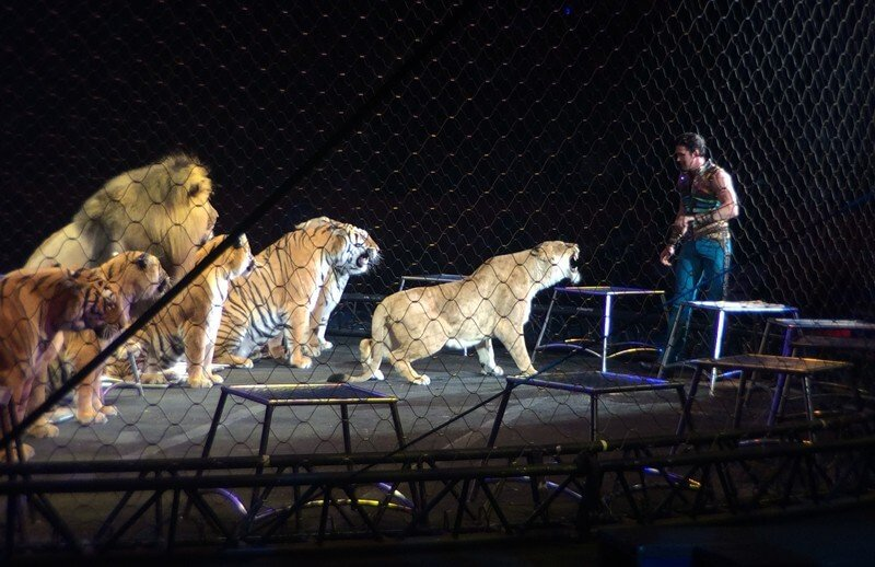 9 Big Cat Facts Circuses Don't Want You To Know | Save