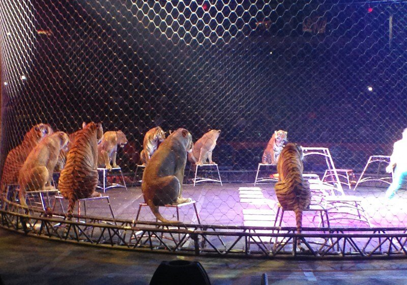 Big-Cats-in-Circus-Performance