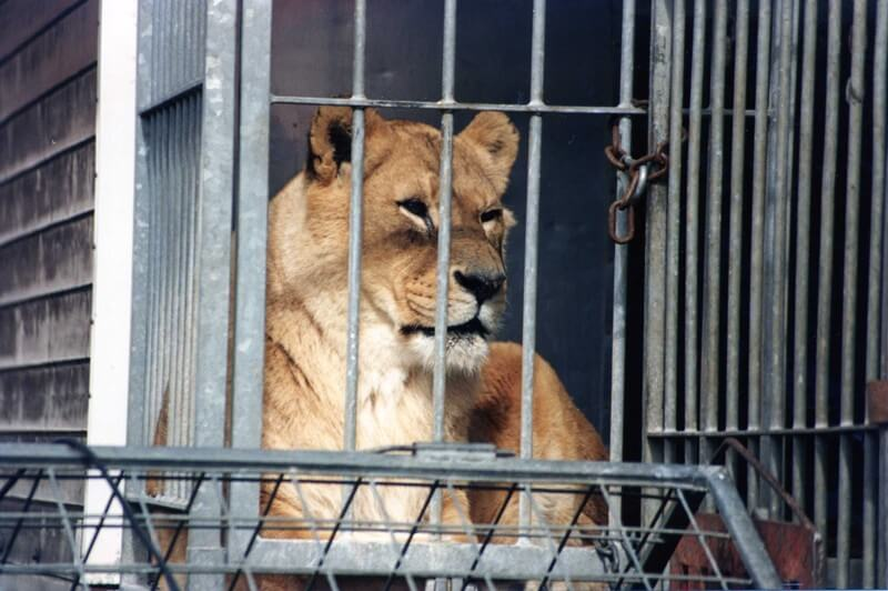 Circus-Lion-In-Cage