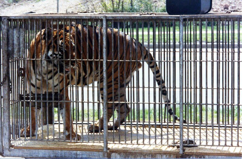 Circus-Tiger-Big-Cat-In-Cage