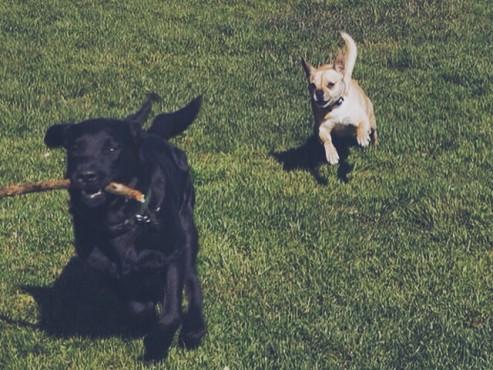 Iggy-Dog-Playing-Running