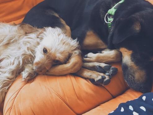 Jovie-Kiwanis-Dogs-snuggling