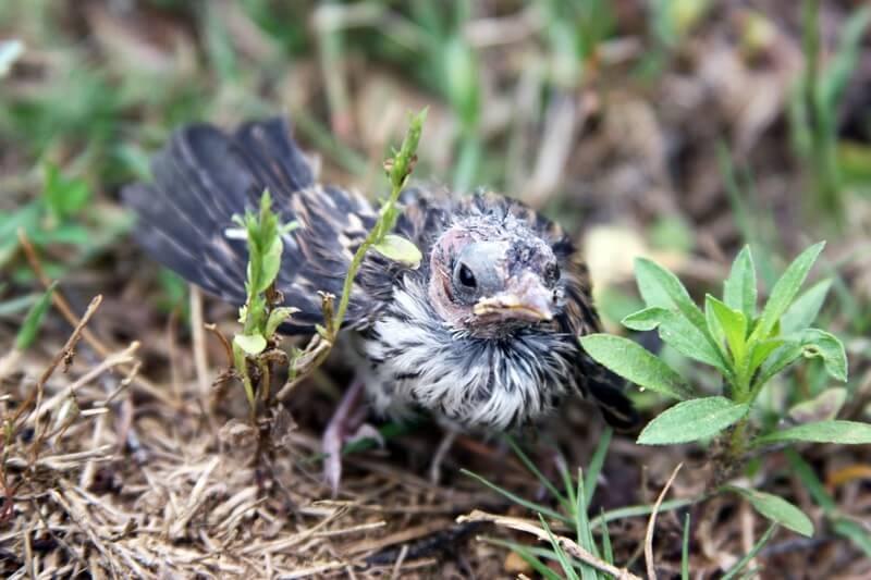 Baby-Bird-Fledgling-on-Ground