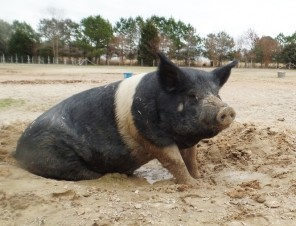 One Adorable Pig's Incredible Transformation
