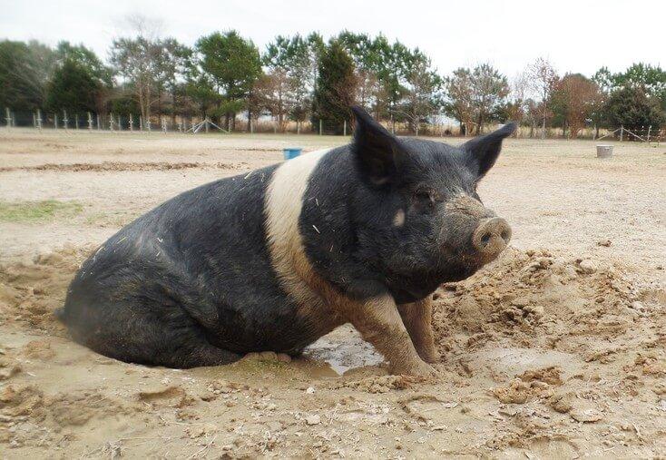 Big-Boy-Pig-in-Mud