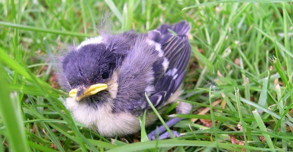Fledgling-Bird-Down-and-Feathers