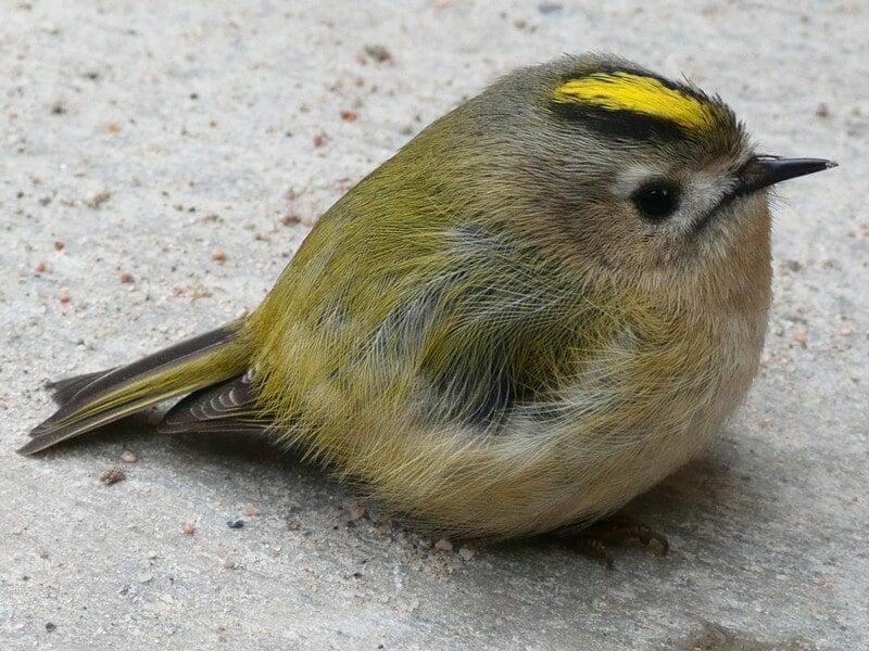 Goldcrest-Bird-Fledgling