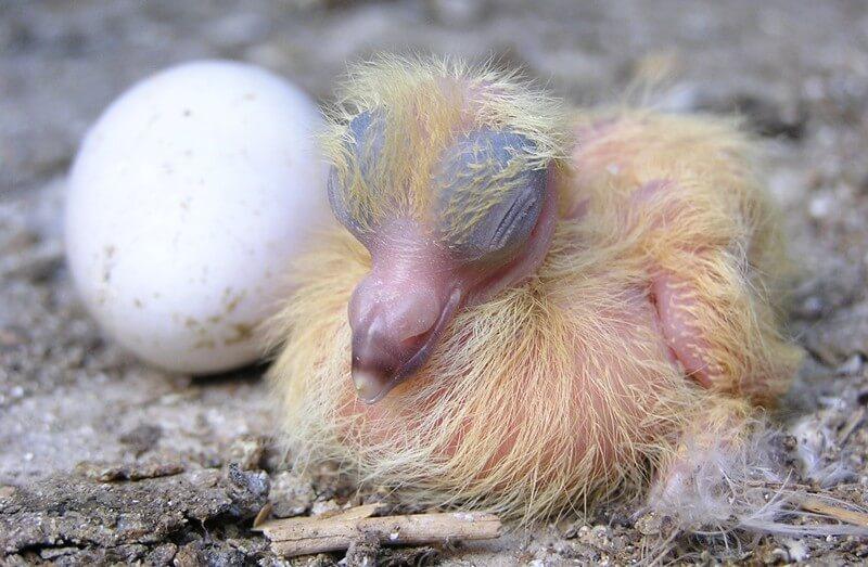Nestling-Baby-Bird
