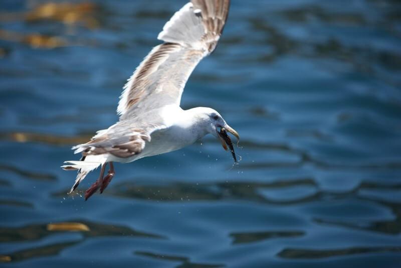 Seagull-Eating-Fish