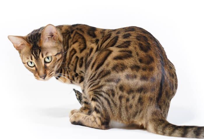 Cat-Trouble-Walking