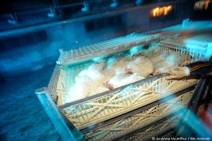 Chickens-Being-Sent-to-Slaughter
