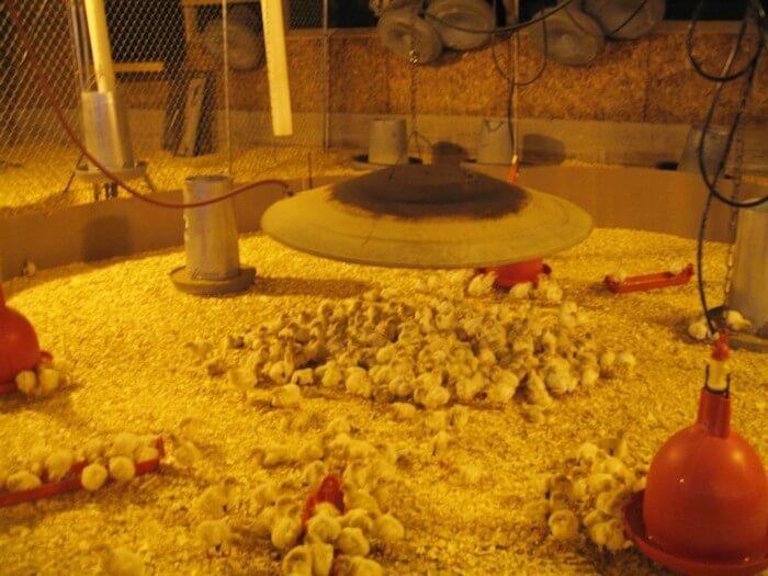 Chicks-Under-Incubators