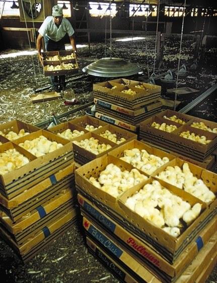 Chicks-in-Egg-Industry