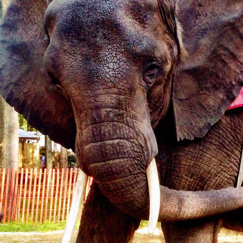 Nosey-Elephant