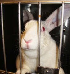 Heartbreaking: What Life Is Like for Rabbits in Laboratories ?